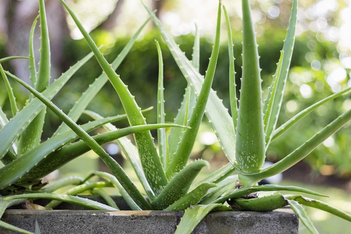 Spotted aloe vera (chinensis variation).