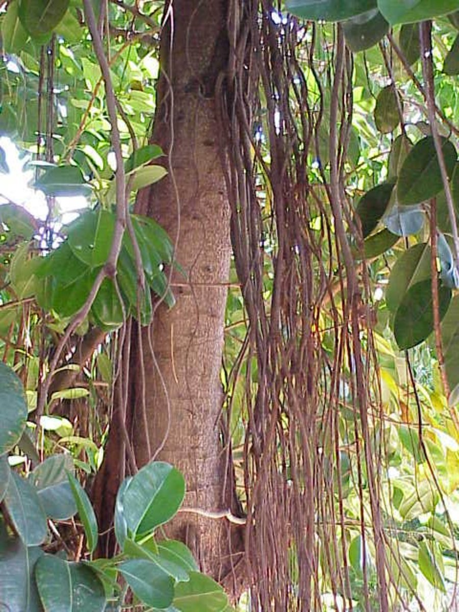 In the wild, rubber plants grow aeiral roots like their cousins, the banyans.