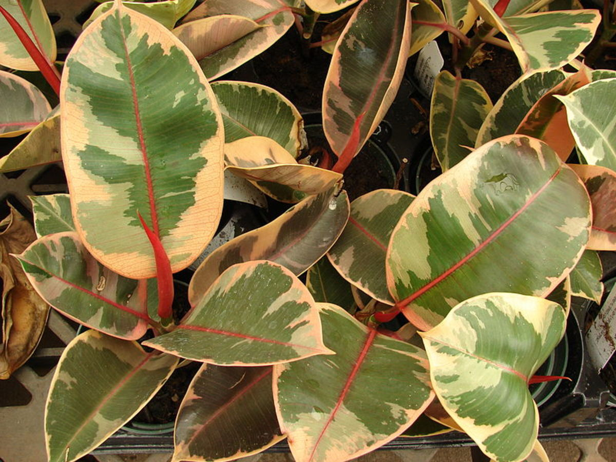New cultivars have variegated leaves.