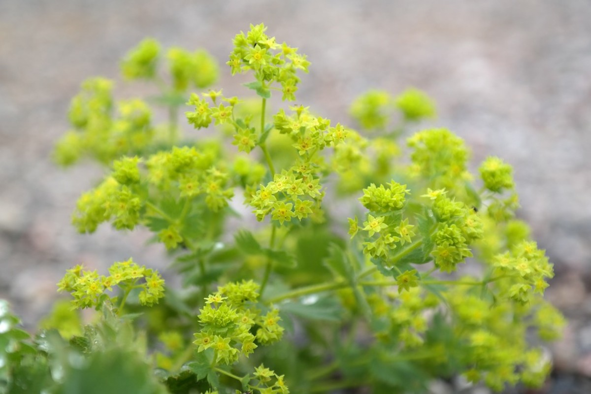 Lady's mantle has lime green flowers that grow in bunches on tall stems.