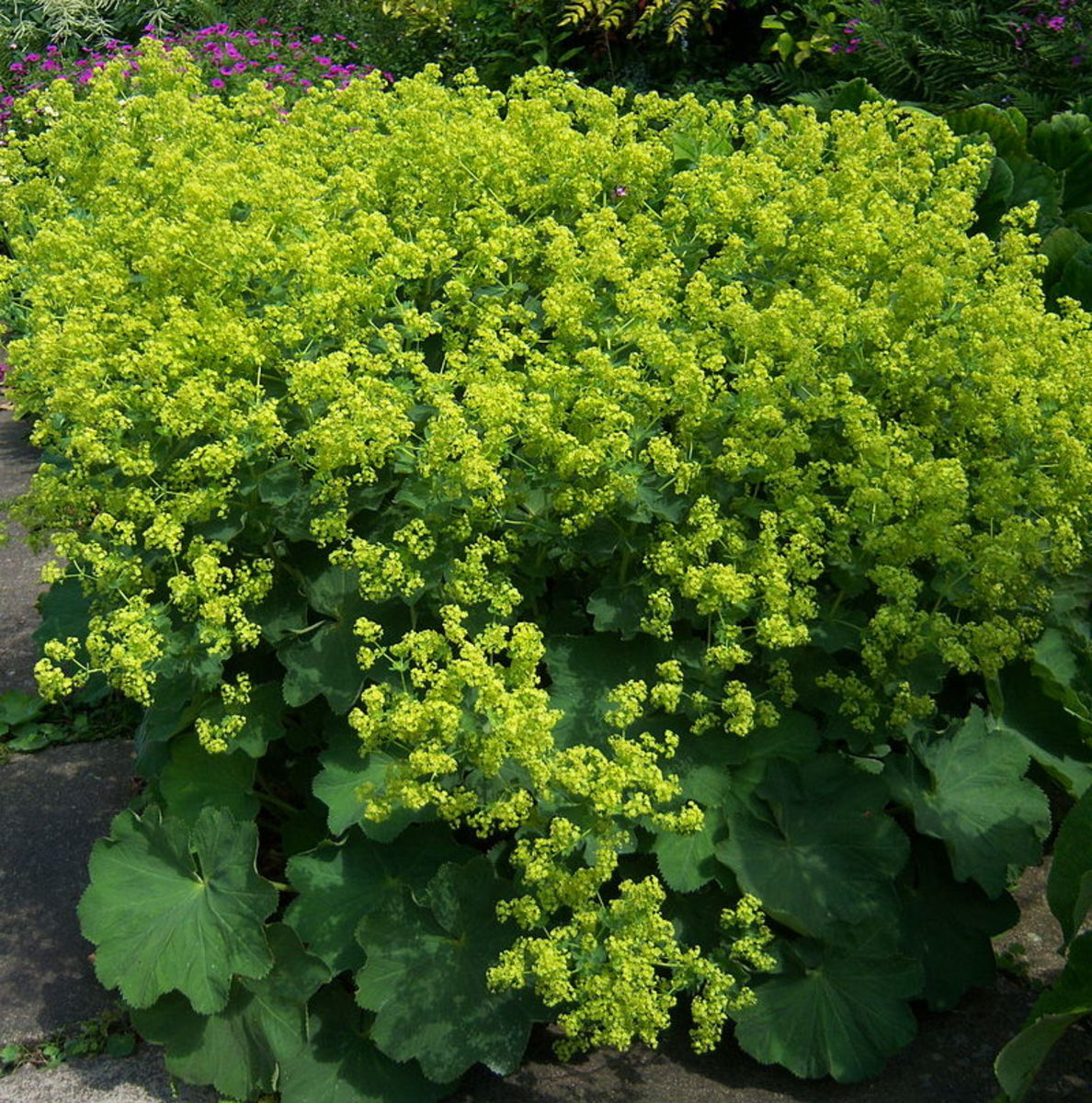 ALCHEMILLA MOLLIS LADY/'S MANTLE ** 3 COTTAGE GARDEN PLANTS**