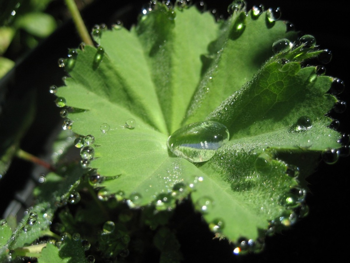 The hairs in the leaves hold droplets of water after a rain.