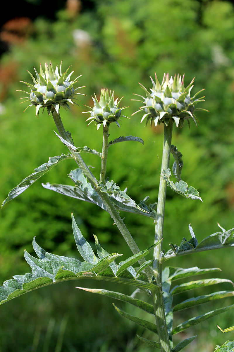 Cardoon buds can be eaten like artichokes although they are smaller and covered with spines.