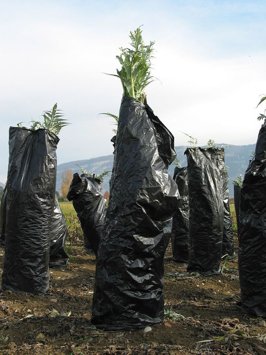 Farmers wrap their cardoon crop in black plastic to blanche the stems.