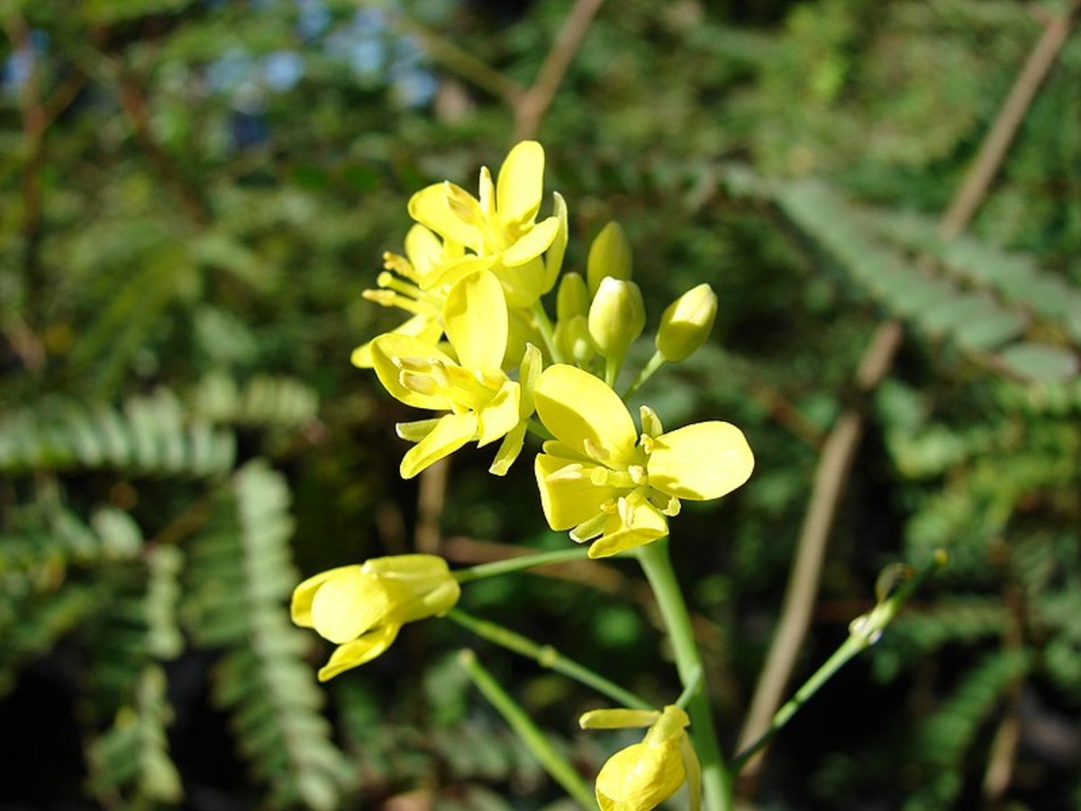 The flowers are yellow and appear when temperatures heat up or the plants are not getting enough water.