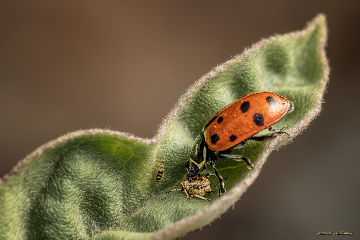 Ladybugs are the most widely-recognized beneficial insects.  They will eat approximately 40-50 aphids in an hour, along with beetle grubs, scales, spider mites, whiteflies and other soft-bodied insects.