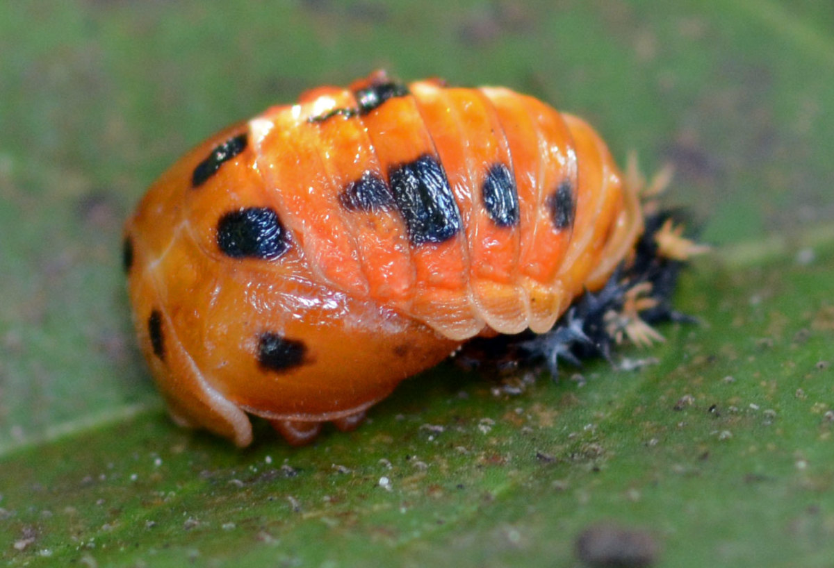 In the pupa stage, which is next, the ladybug is usually yellow or orange with black markings.  This stage lasts from three to 12 days, during which the ladybug remains still and attached to a leaf.