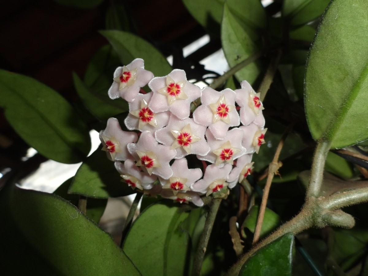 How to Grow a Hoya (Wax Plant)