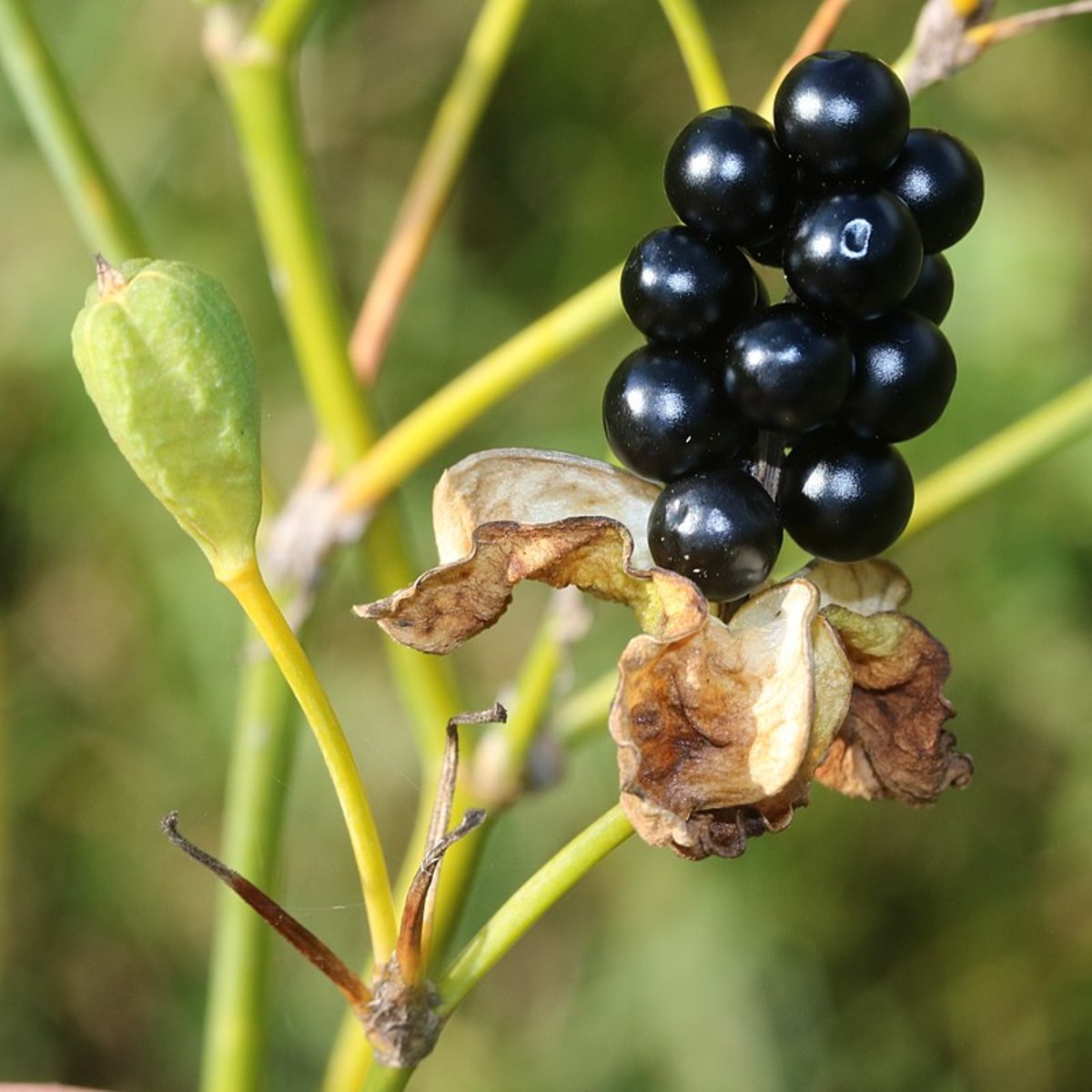 Blackberry lilies produce seed pods that start out green, then dry out and open to display the shiny black seeds from which the plants get their name.