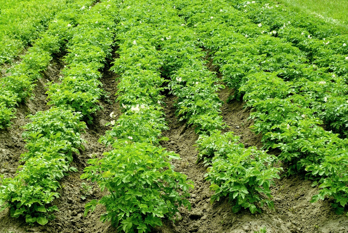 Potatoes are an easy-to-grow crop. How will you store a bountiful harvest long term?