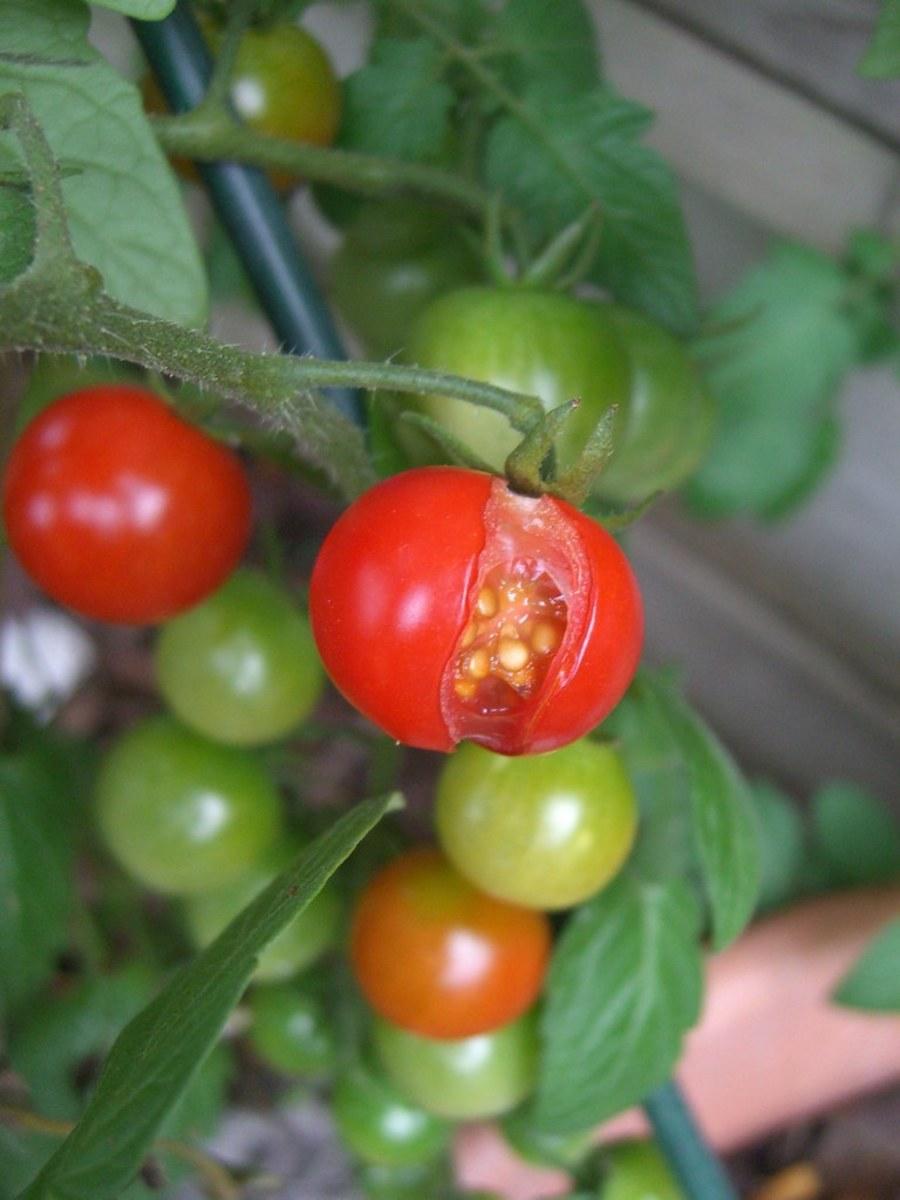 A severely split cherry tomato.