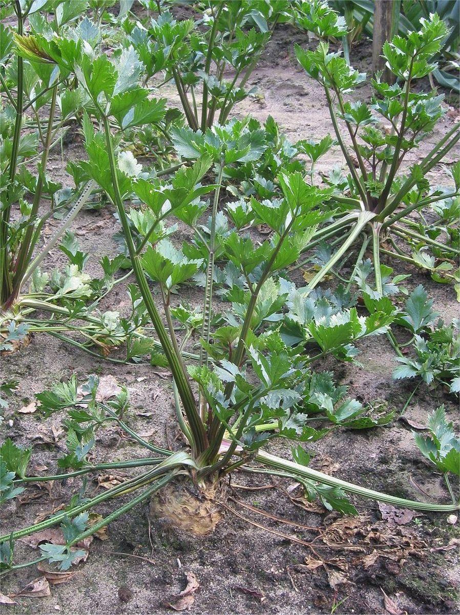 How to Grow Celeriac (Celery Root)