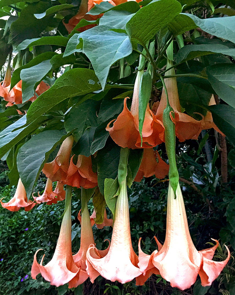 Angel's Trumpet (Brugmansia sp.)
