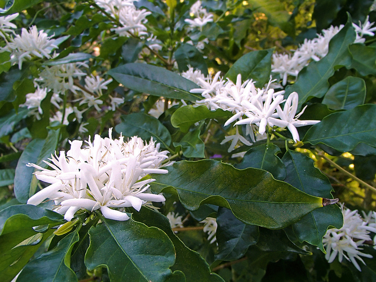 Coffee in Bloom (Coffea arabica)