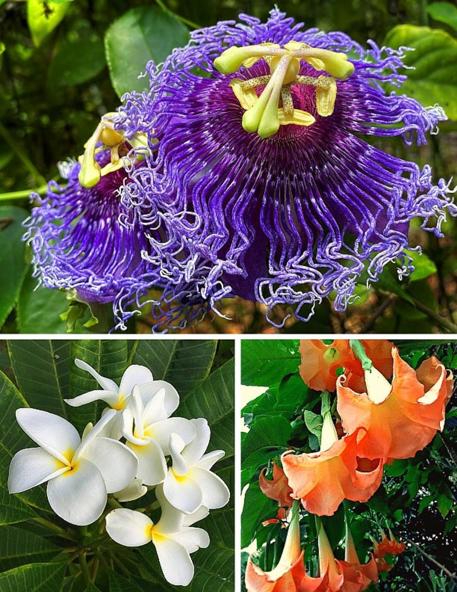 Clockwise from top: Passion Flower, Angel's Trumpet, Plumeria.