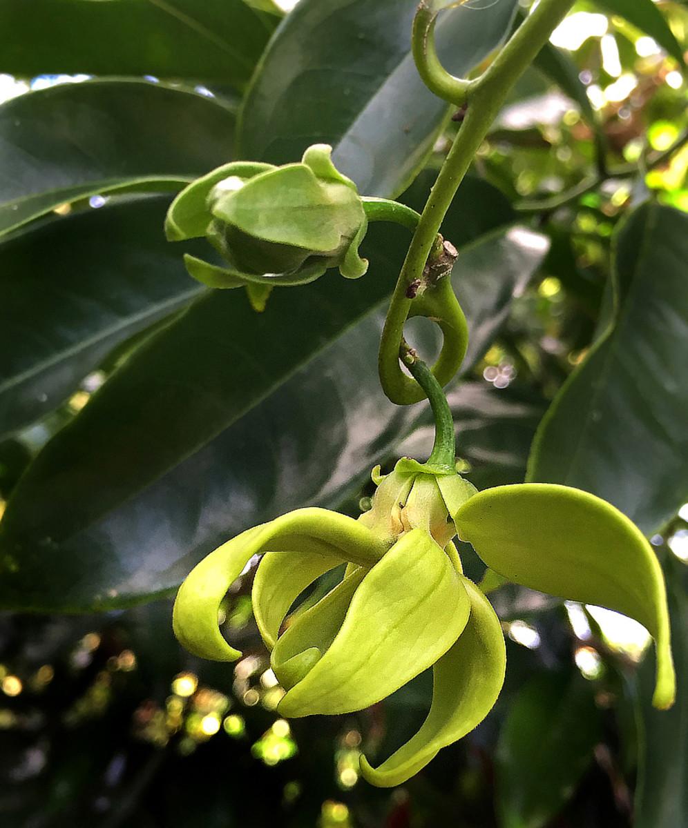 Climbing Ylang Ylang (Artabotrys hexapetalus)