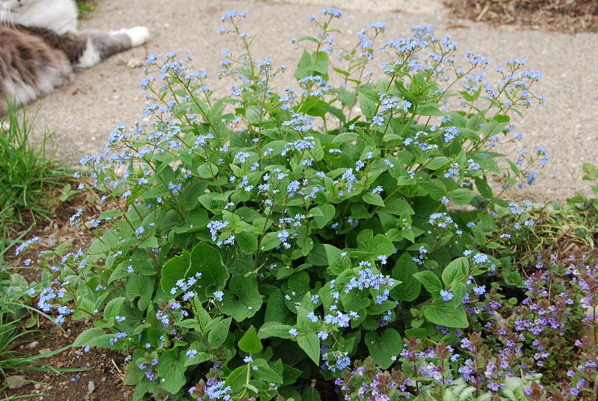 How to Grow Siberian Bugloss (False Forget-Me-Not)