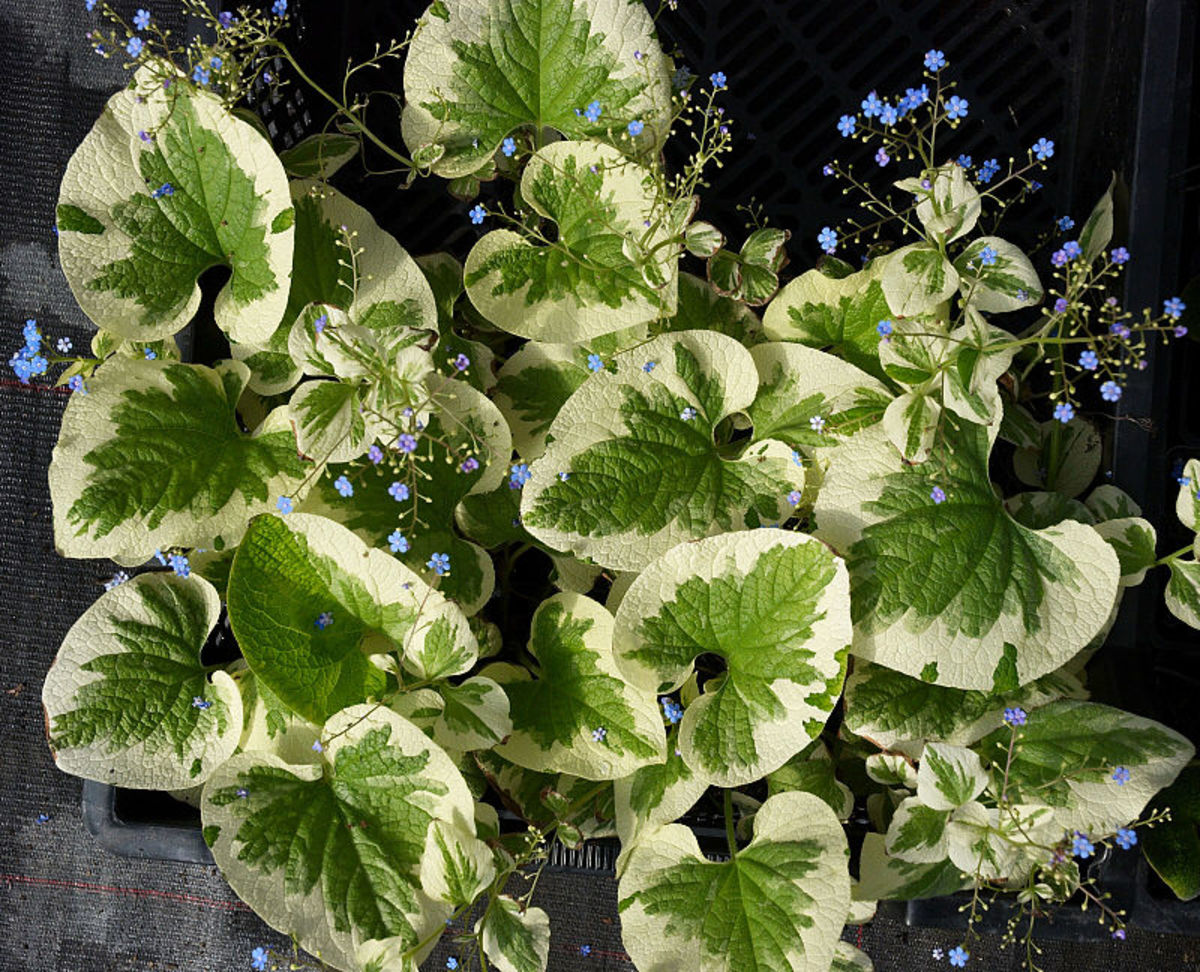 "A cultivar called ""Variegata"" with heavily variegated leaves."