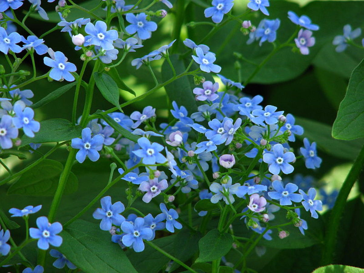 The flowers are bright blue and look like Forget-Me-Nots.