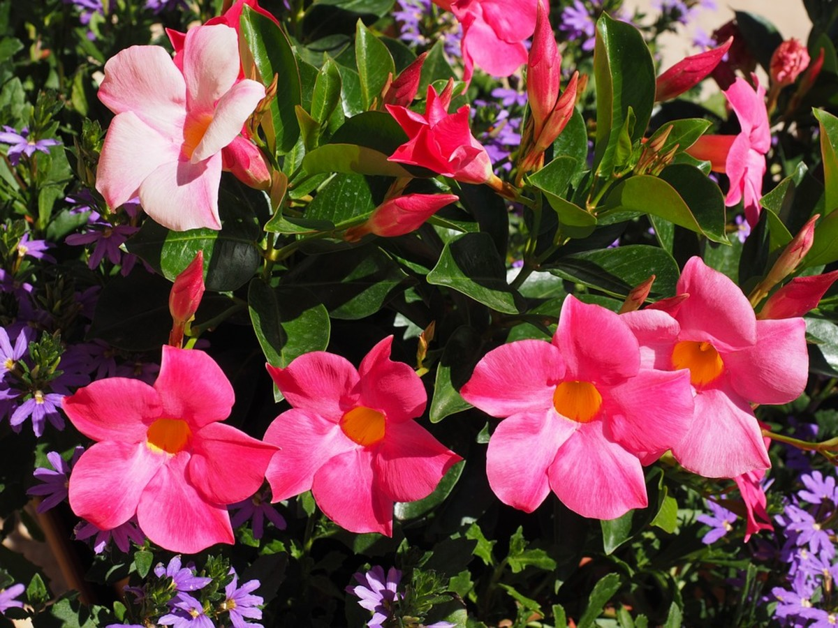 How to Grow Mandevilla Vines