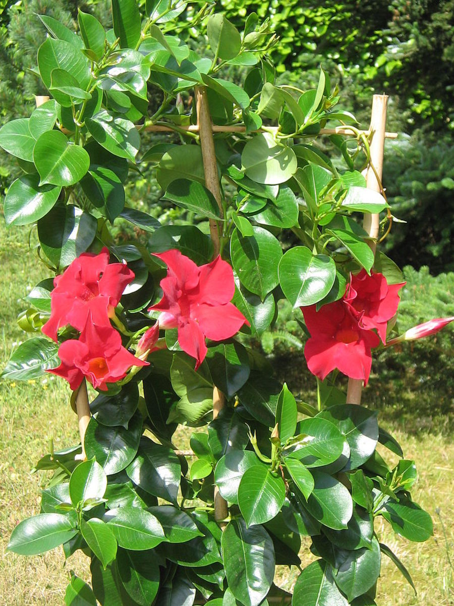 You should provide your vine with a trellis if you want to grow it in a container.