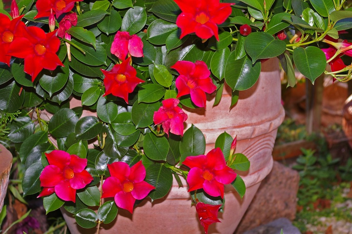 Diploadenia grow well in containers or hanging baskets.
