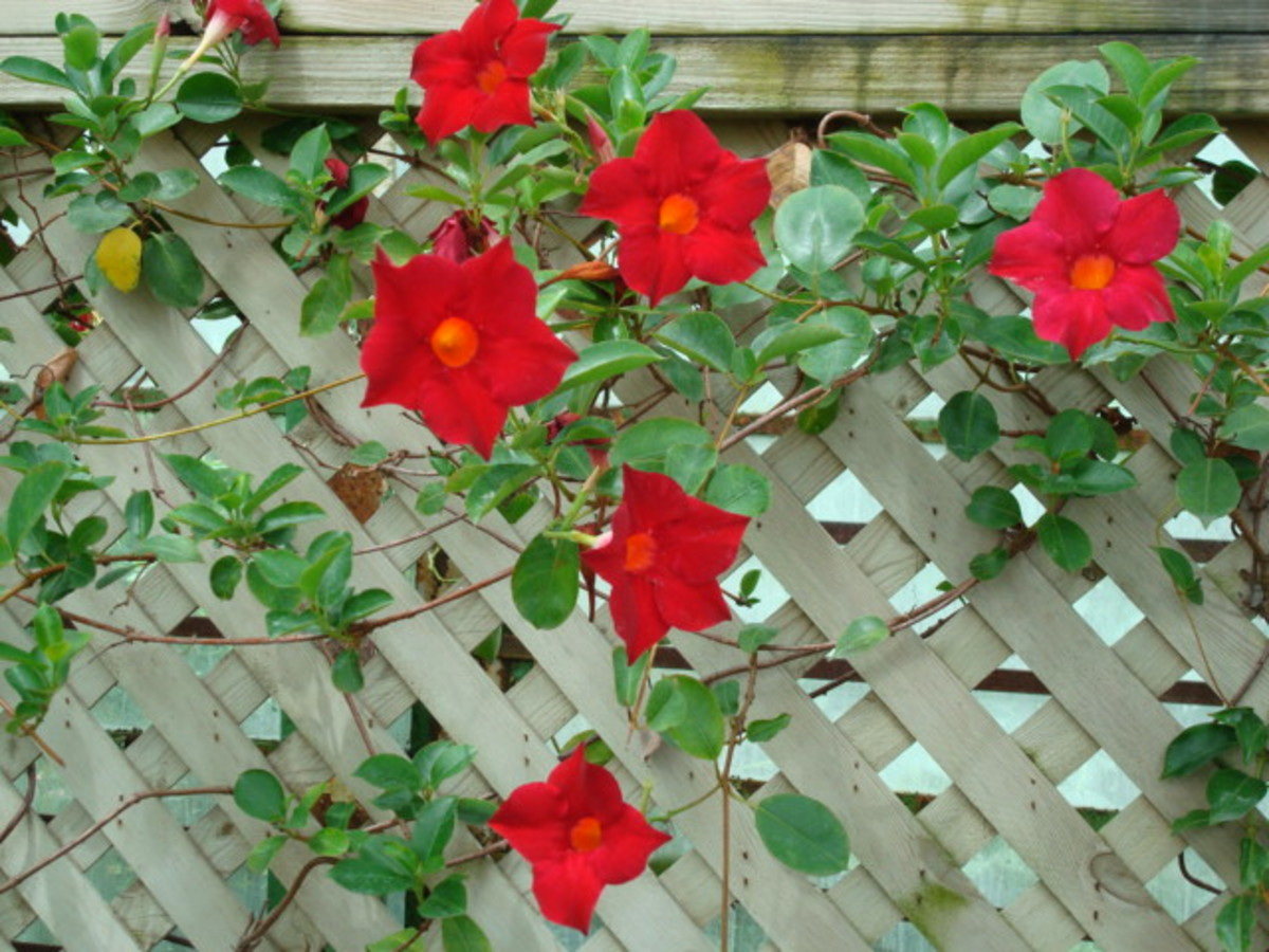 Mandevilla can be grown in a fence.