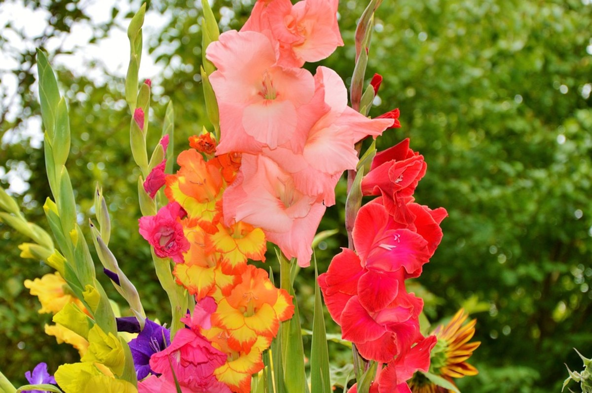 How to Grow Gladiolus (Sword Lilies)