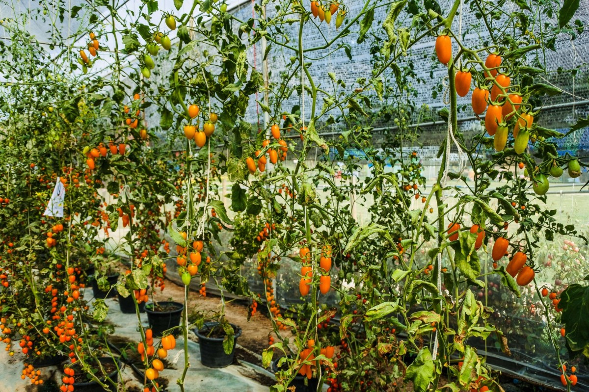 Drooping leaves on tomato plants are not always a cause for worry.