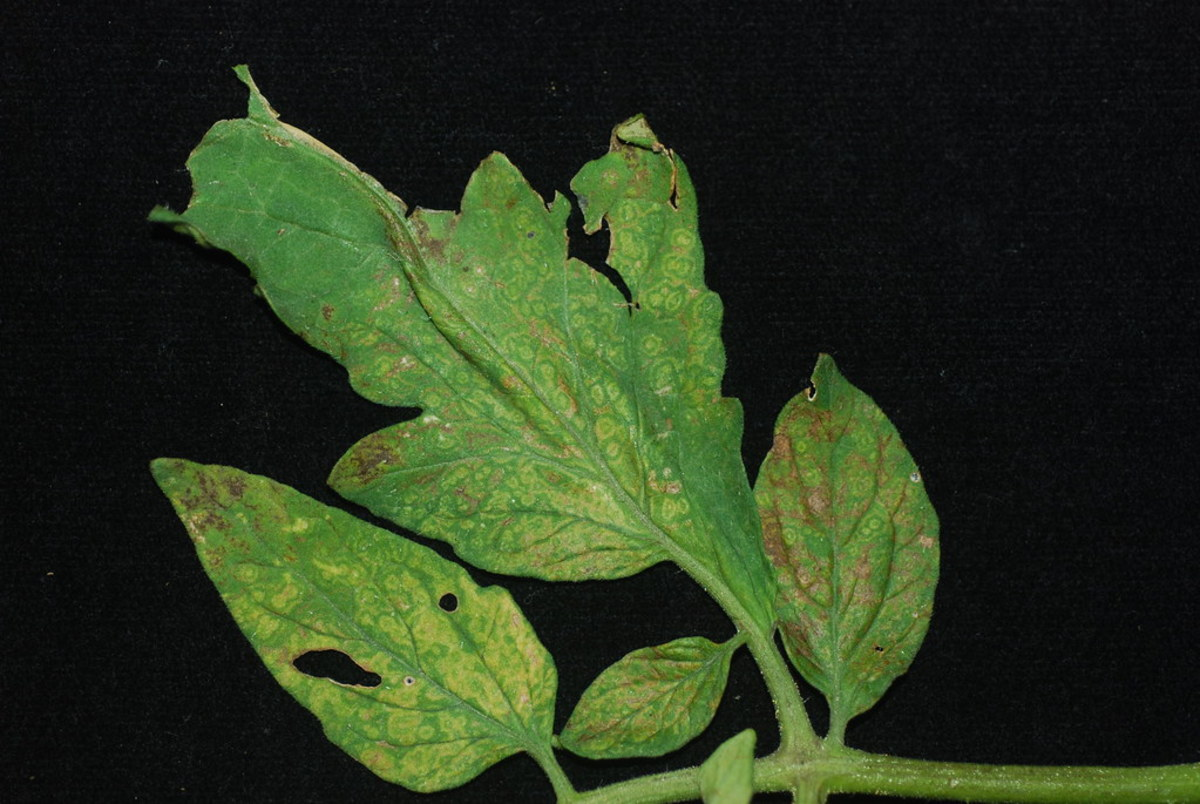 Tomato spotted wilt virus observed on tomato leaves.