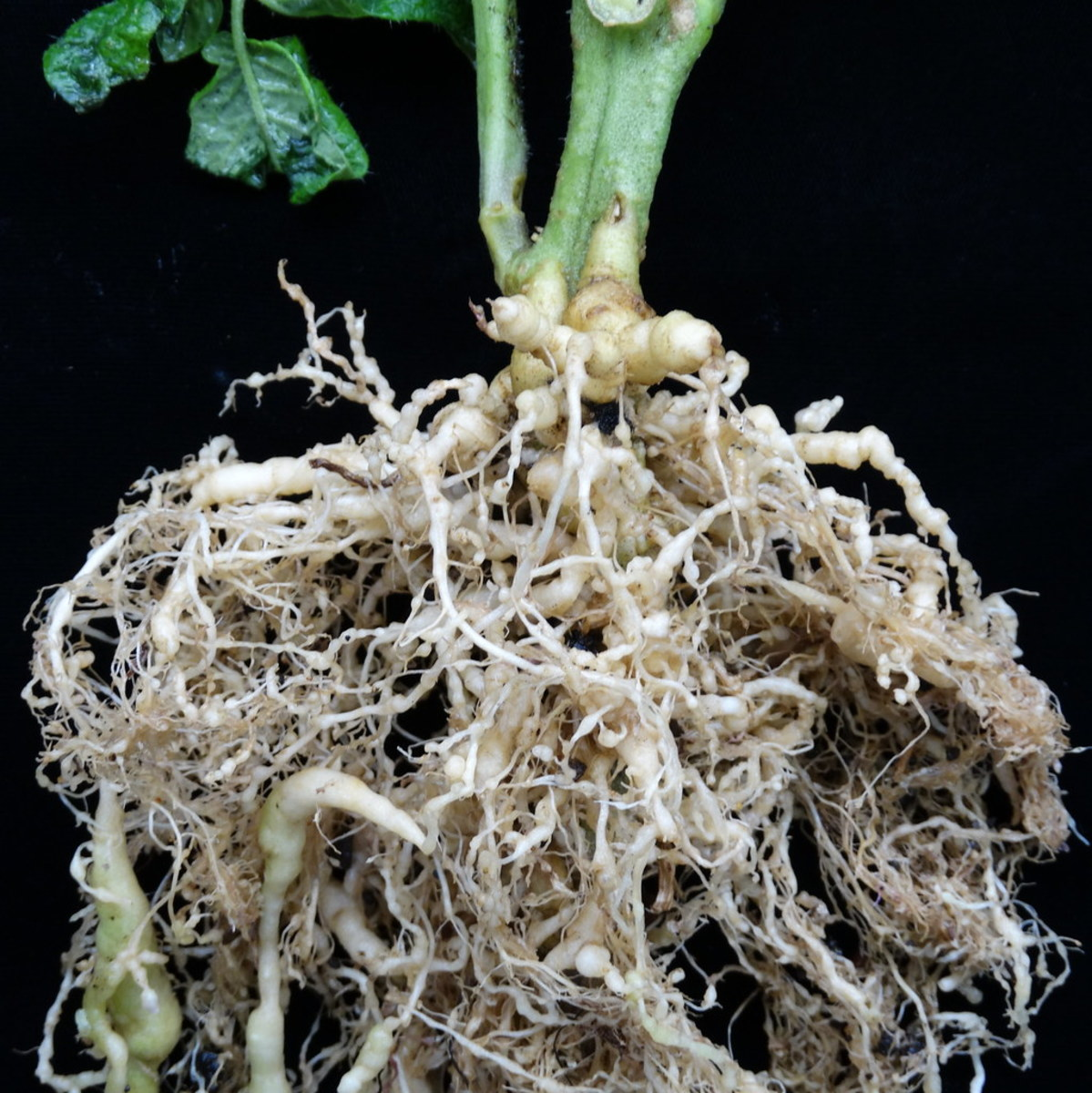 Tomato plant roots damaged by nematodes.