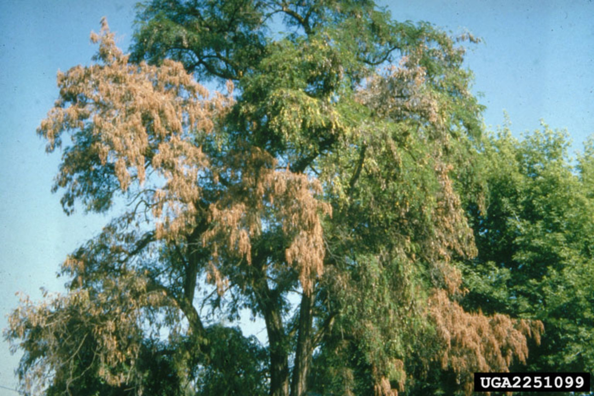 Fusarium wilt often affects the lower branches of plants and trees first.