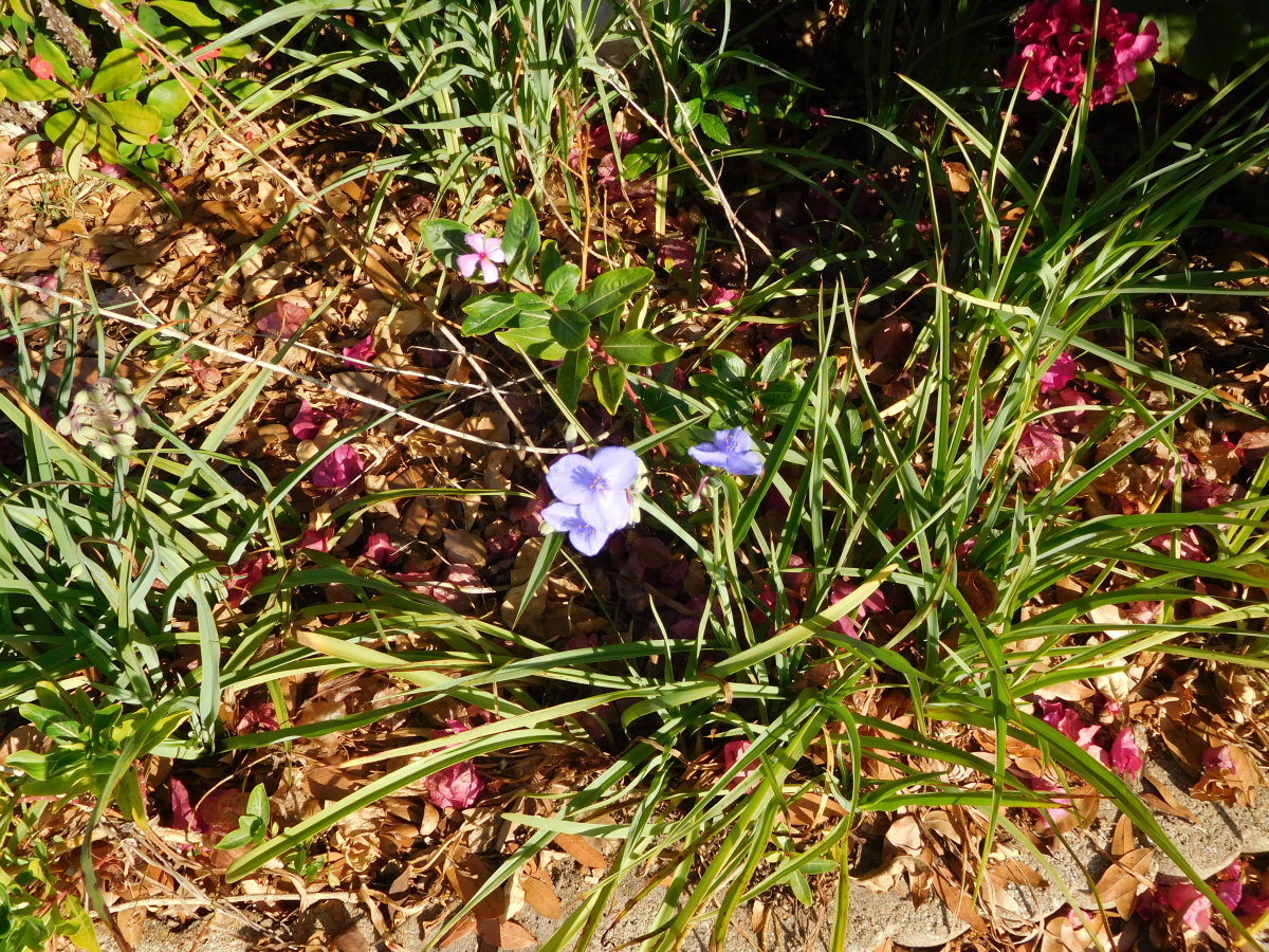 Spiderwort transplanted from side of the road to my garden