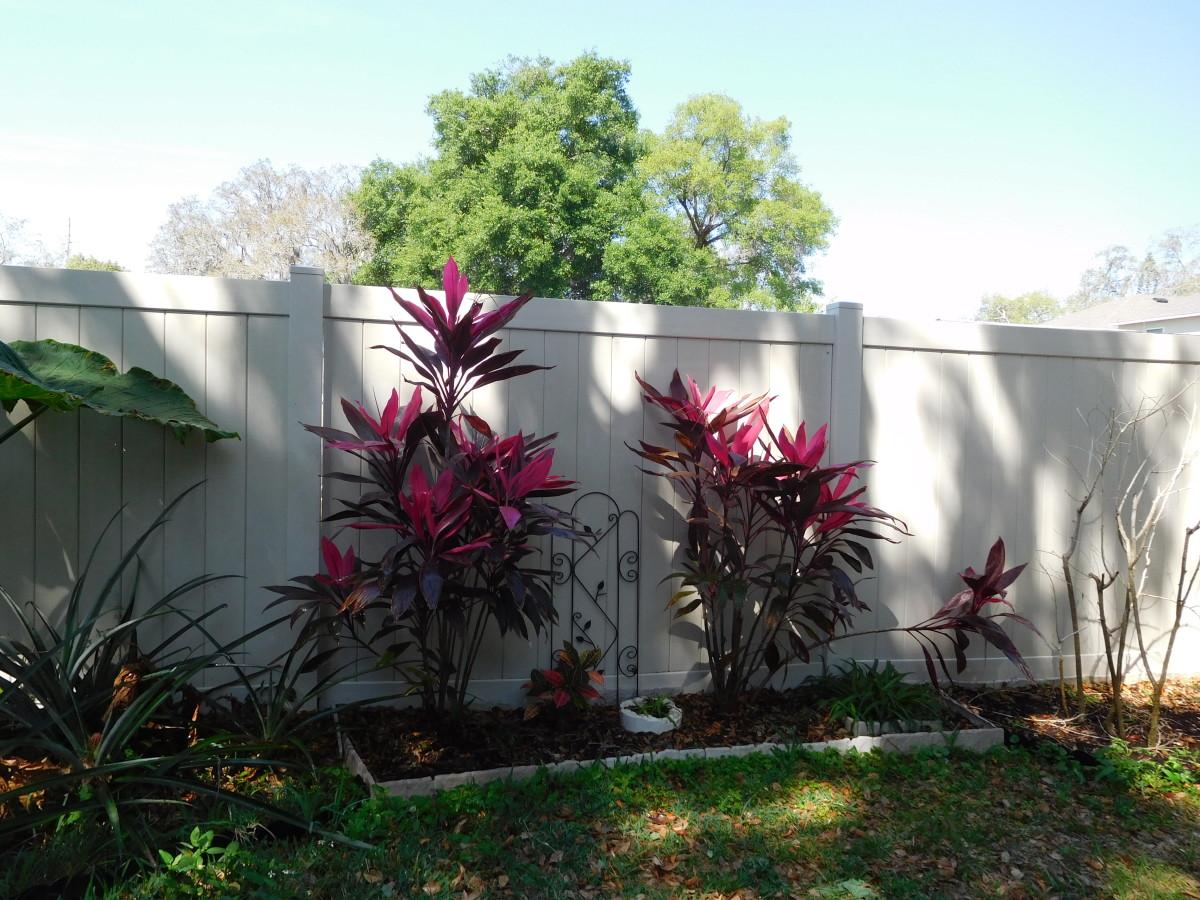 Ti plants in my backyard