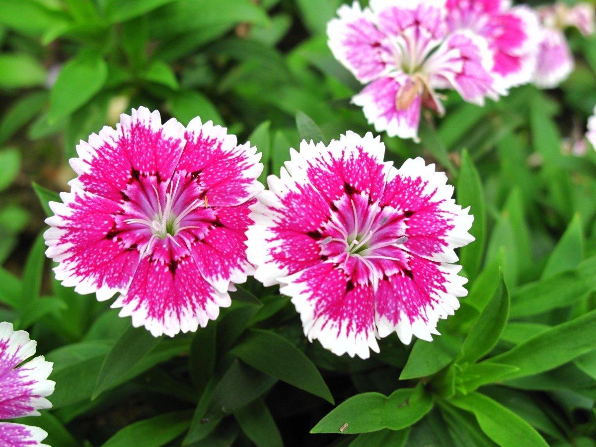 Dianthus 'Pinks'