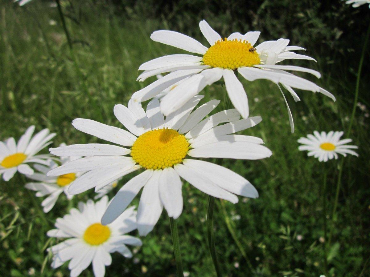 Leucanthemum 'Ox-Eye Daisy'
