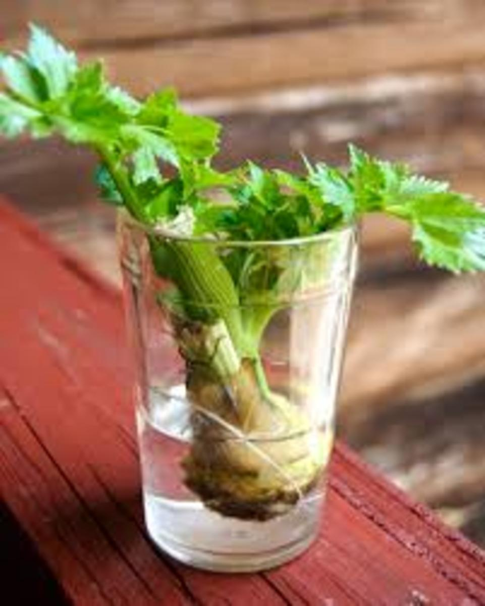 Place the base of celery stalk in water to sprout more celery sticks.