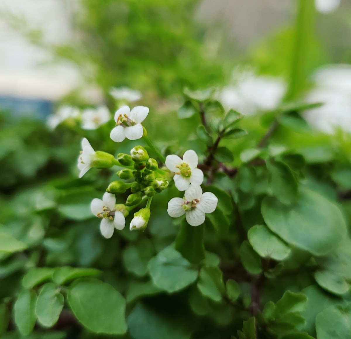 Watercress flowers.