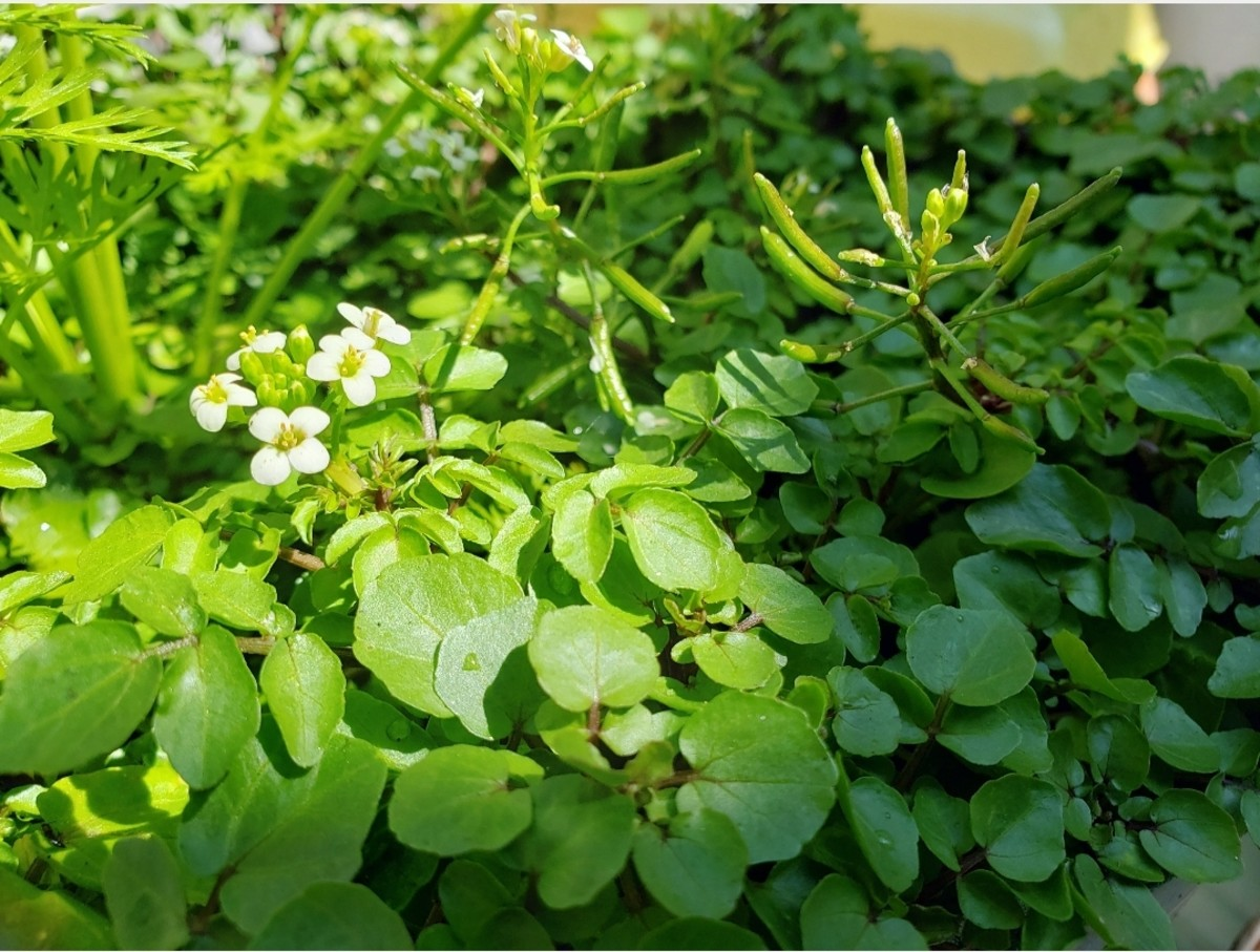 Watercress.