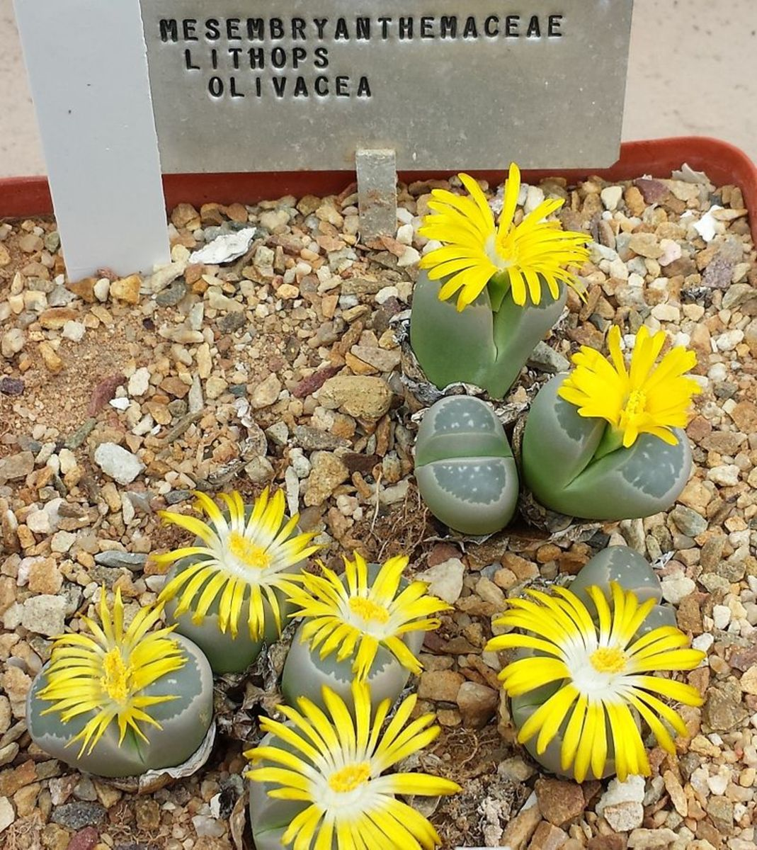 Depending on the species, lithop flowers can be yellow or white.