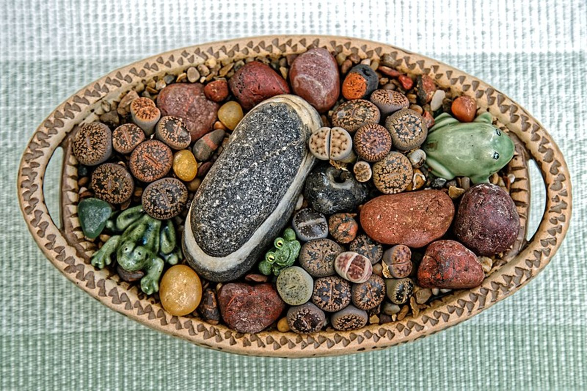 Lithops come in different colors that match their native habitat.