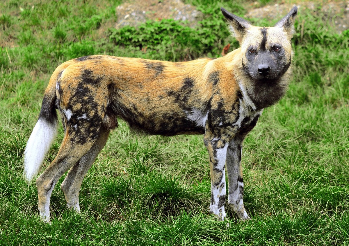 A very colourful African wild dog or painted dog