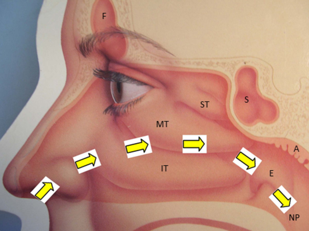 Path of nasal airflow shown by arrows.