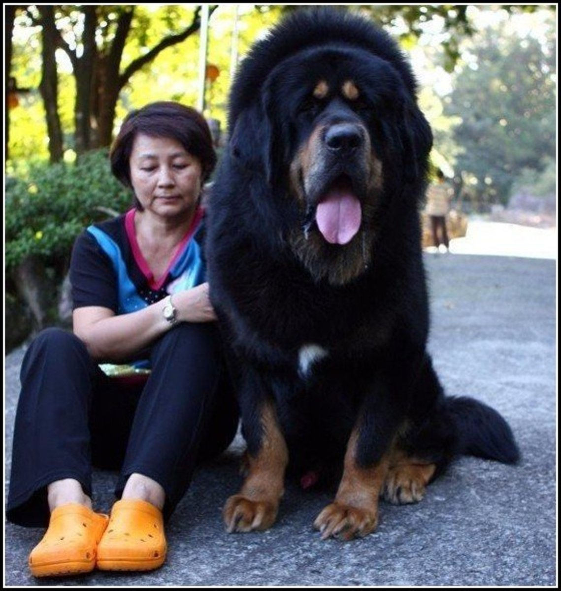 Some large dogs can even match up to a human in terms of total size.
