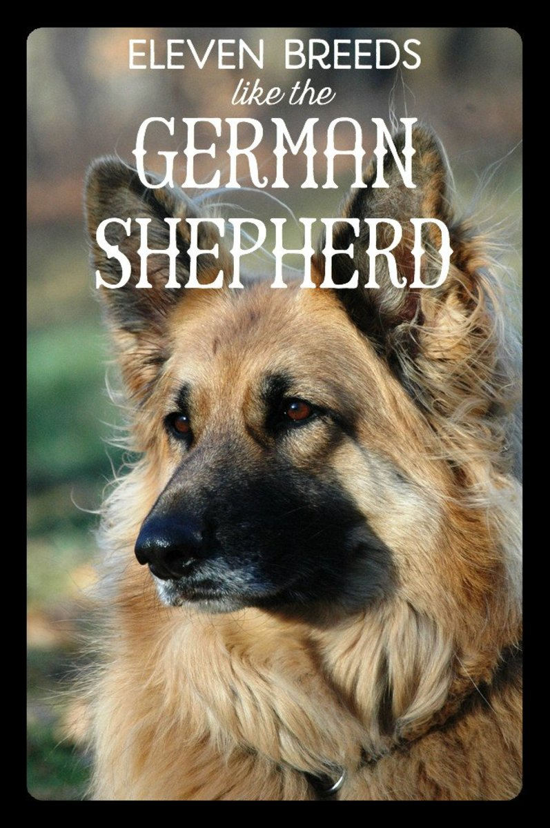 A King Shepherd are bigger and more muscular than German Shepherds, but they are also more friendly and intelligent.
