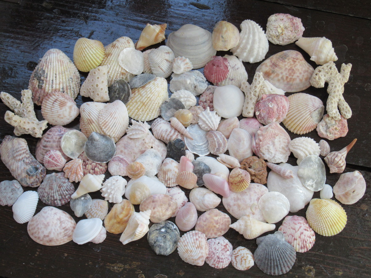 These are only part of the shells we collected on Indian Rocks Beach over the course of a week. Came home with a two gallon bag filled with beach treasure