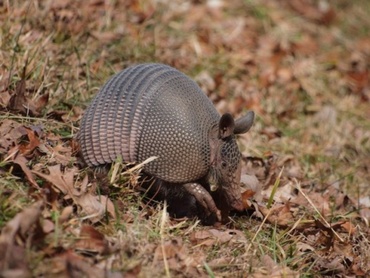 The Nine-Banded Armadillo is the most widespread of the species. They can be found in North, Central, and South America. The nine-banded armadillo is solitary, and mainly nocturnal.  It feeds mainly on insects, such as ants, and termites.
