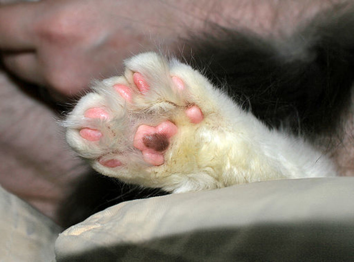 Polydactyl cats have a size advantage in the paw category.