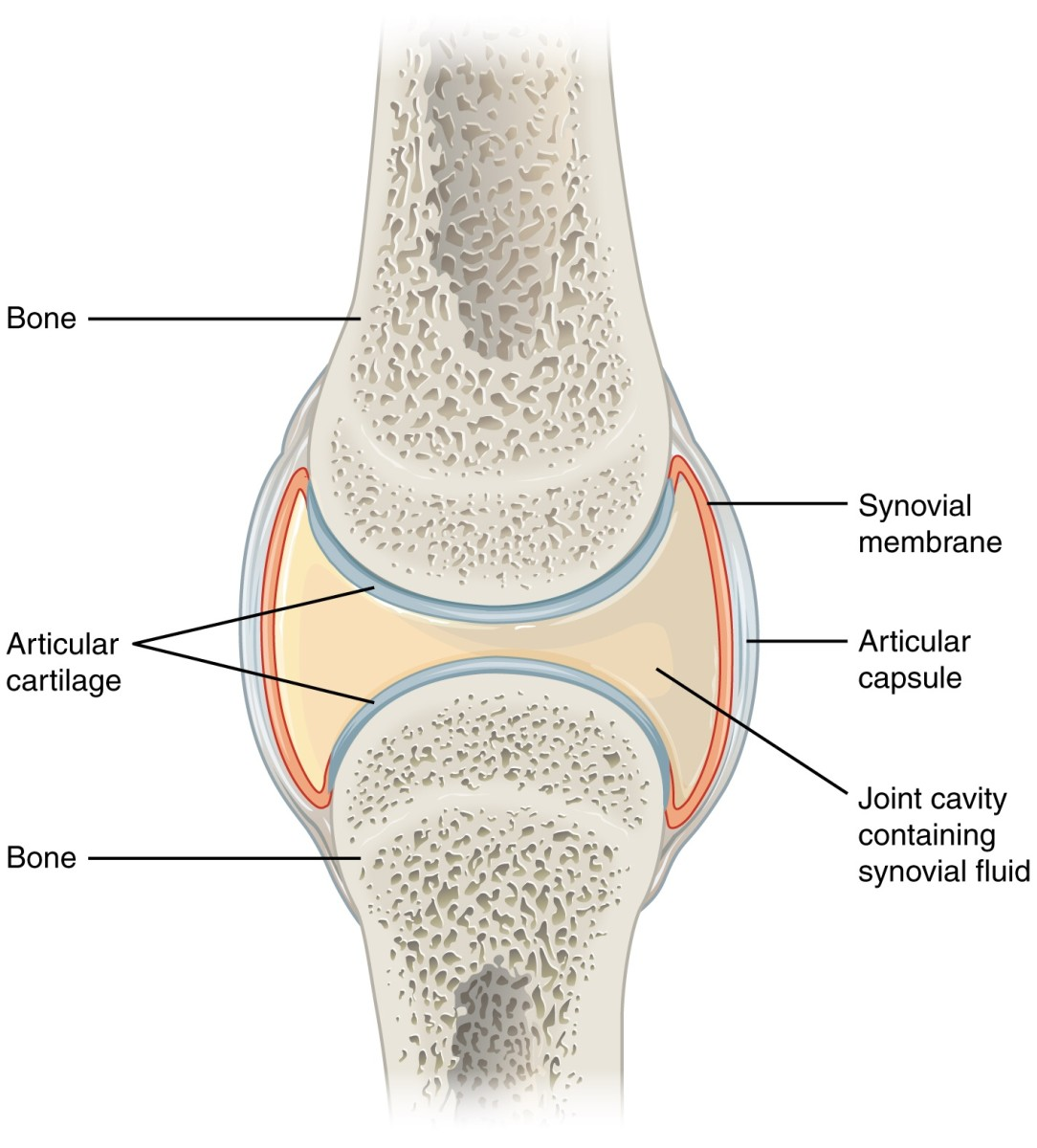 Structure of a synovial joint; the surrounding tendons and ligaments are omitted