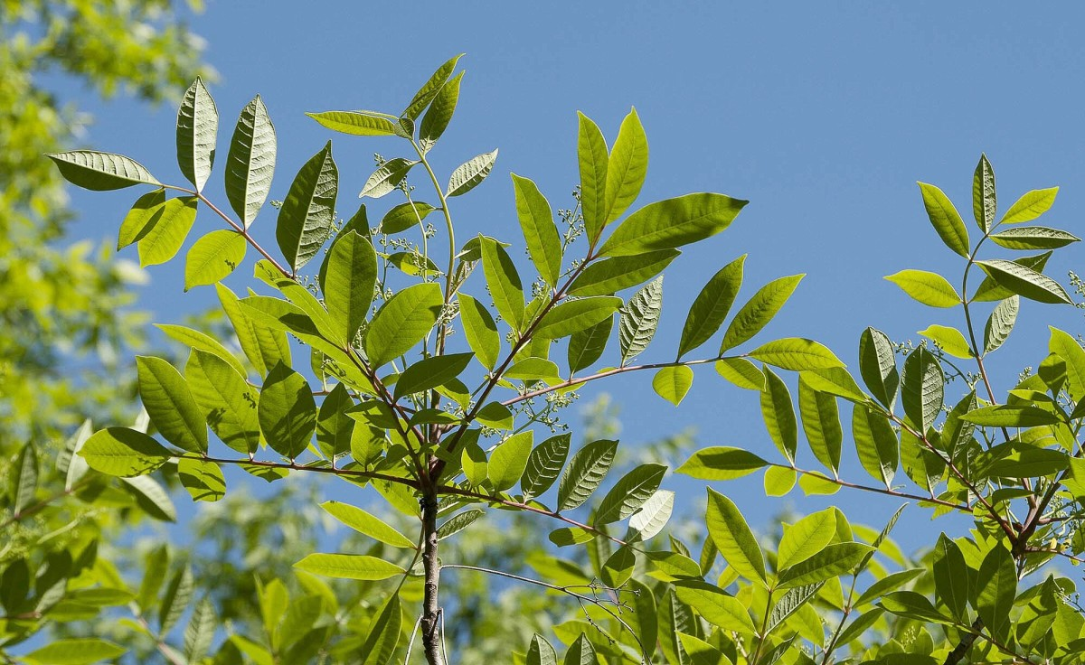 Hydrocortisone is used to treat irritation by poison sumac.